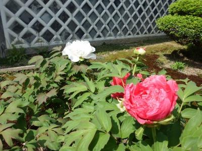 紅白咲き乱れて