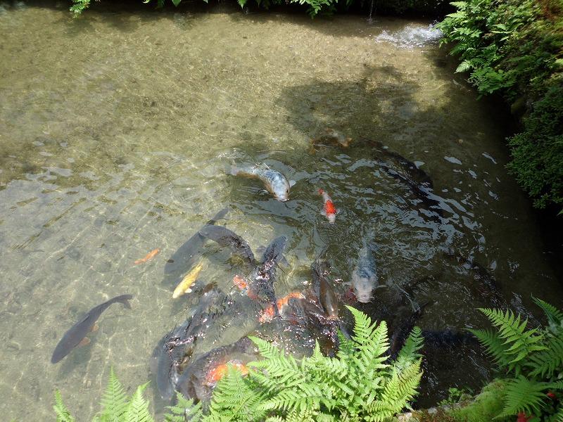 池のコイ・・・