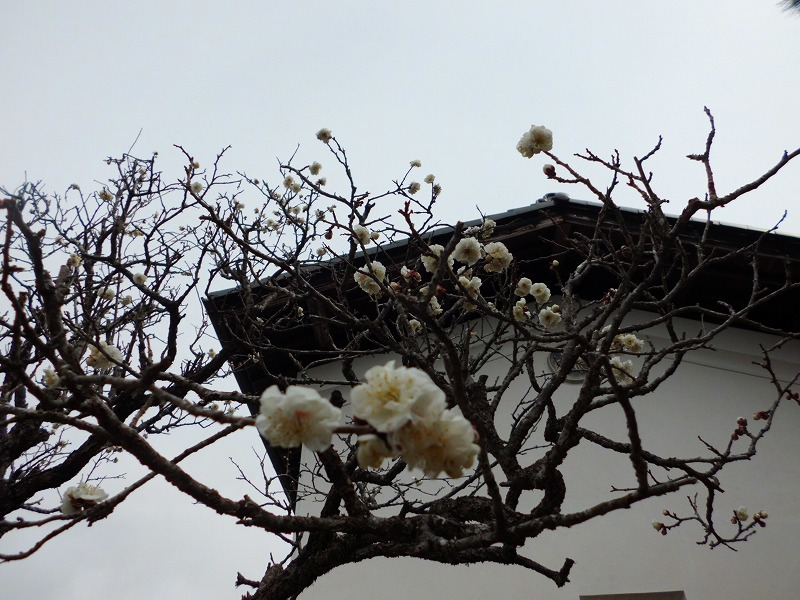 梅の花が・・・